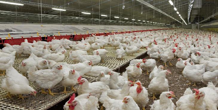 صنعت مرغداری قم آماده مقابله با آنفلوانزا