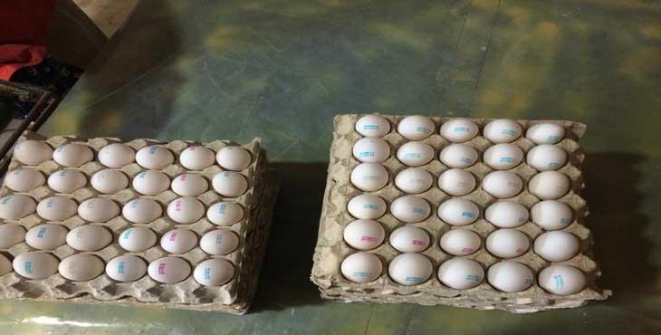 فروش تخم مرغ شکراللهی (تخم مرغ جاوید)