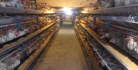 تخم مرغ 11.300 الی 11.500 کیلویی ، خرید تخم مرغ از درب مرغداری