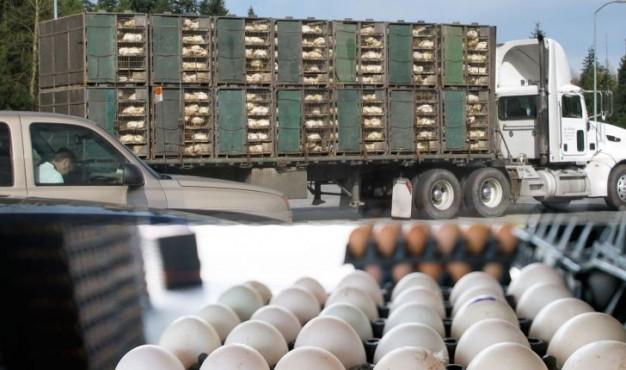 خرید تخم مرغ بصورت عمده ، خرید عمده تخم مرغ
