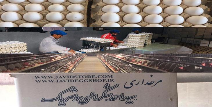 خرید و فروش تخم مرغ 11.700 الی 11.750 کیلویی، بدون واسطه از درب مرغداری