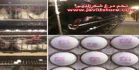 خرید تخم مرغ 11.88 الی 11.95 کیلویی
