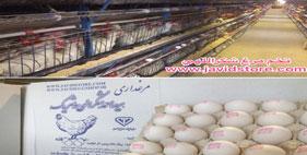 فروش تخم مرغ درجه یک لوکس بدون شکسته