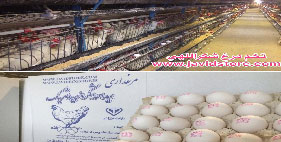 تخم مرغ 11.900 الی 11.950 کیلویی