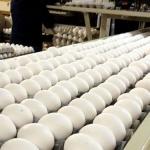 تولید ۳۹۲۰ تن تخم مرغ در سیستان و بلوچستان