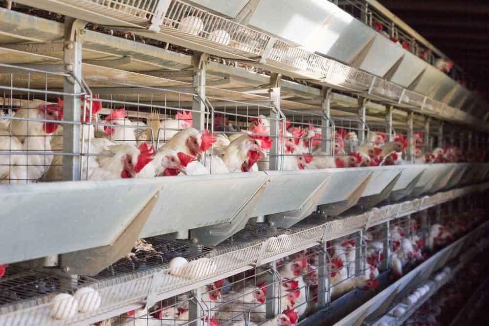 خرید و فروش عمده تخم مرغ ، تخم مرغ صادراتی ، تخم مرغ بسته بندی