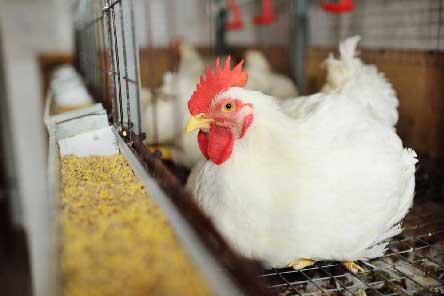 خوراک آماده طیور تخمگذار و گوشتی
