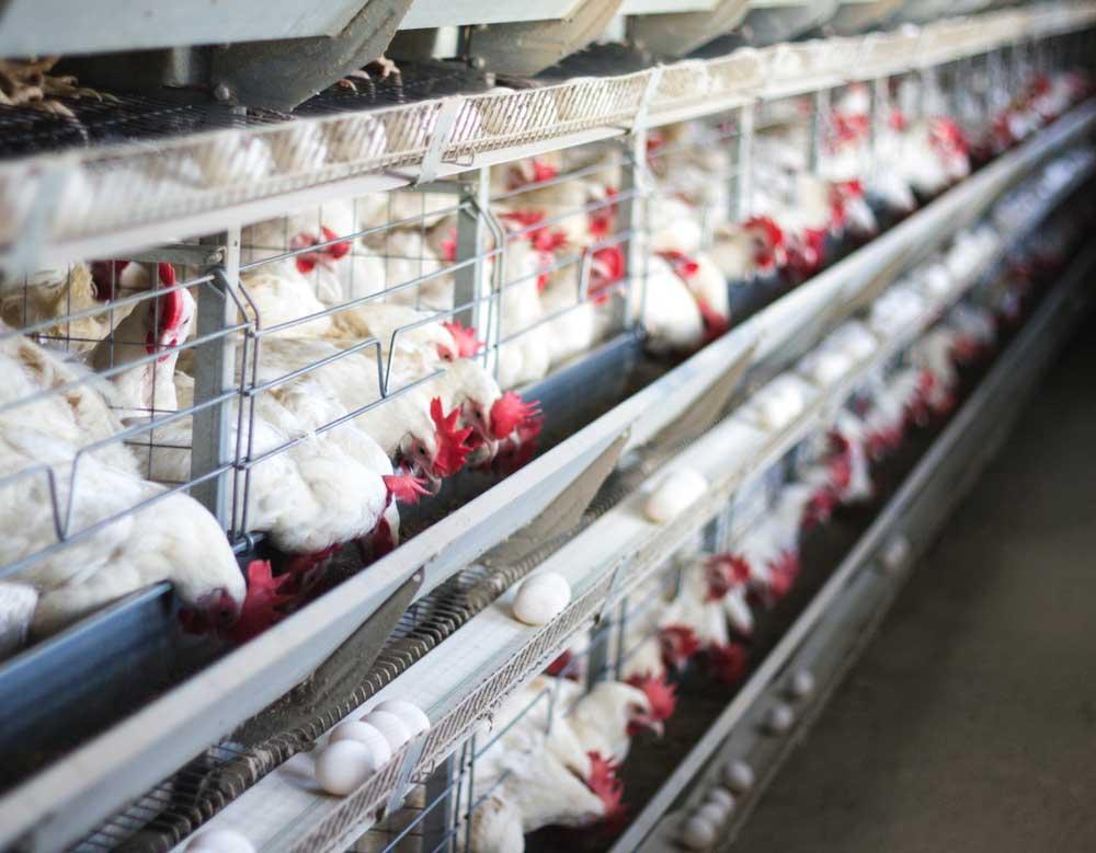 صنعت مرغ تخمگذار کشور رو دریابید و از ورطه نابودی نجات دهید