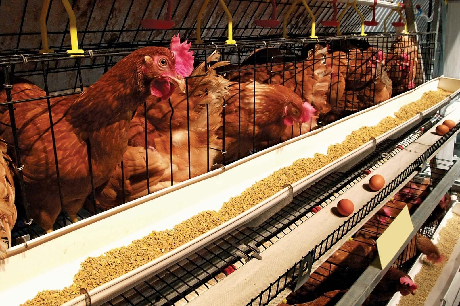 هم اکنون هر شانه تخم مرغ در سطح شهر به قیمت ۳۰ هزار تومان فروخته میشود در حالی که قیمت این محصول درب مرغداریها حدود ۵ هزار تومان کاهش یافته است.