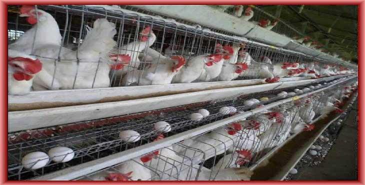 بی توجهی به تجارت پرسود صادرات تخم مرغ؛ عدم وحدت وزارت جهاد و صمت مهمترین مانع است