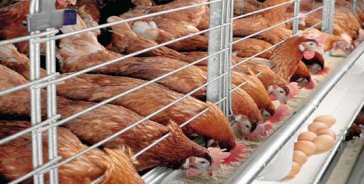 سرگردانی مرغداران از آشفتگی بازار نهادههای دامی/زیان ۴ هزار تومانی در فروش هر کیلو تخم مرغ