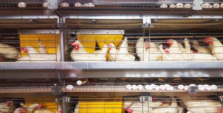 هشدار دربارۀ آینده تولید تخممرغ