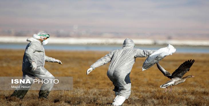 آخرین وضعیت شیوع آنفولانزای فوق حاد پرندگان در اراک