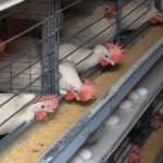 چراغ تنها واحد مرغ تخم گذار شیروان خاموش شد