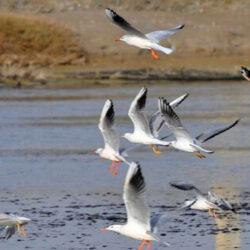 آنفلوانزای حاد پرندگان در تالاب شادگان مشاهده نشده است.