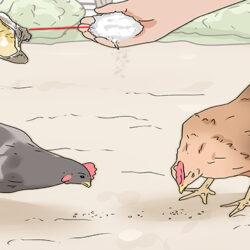 اهمیت تغذیه مرغ در پوسته تخم مرغ