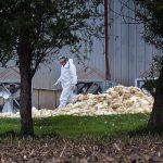 رعایت اصول قرنطینه برای جلوگیری از شیوع آنفولانزای پرندگان