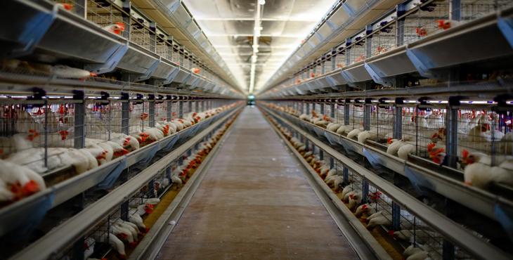 ۸۰۰ هزار یورو برای ساخت مجتمع مرغ تخمگذار تربتحیدریه هزینه شد