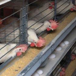 تصمیمات اشتباه ۲ هزار میلیارد تومان به صنعت مرغداری خسارت زد