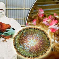 معدوم شدن یک واحد مرغ تخمگذار در بیرجند بدلیل درگیر شدن فارم تولیدی با آنفلوانزا فوق حاد پرندگان