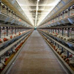 تولید تخم مرغ سال آینده دچار چالش میشود