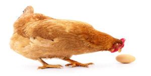 تخم مرغ بسته بندی  ۶ عددی  چیلای ارگانیک (قهوه ای)
