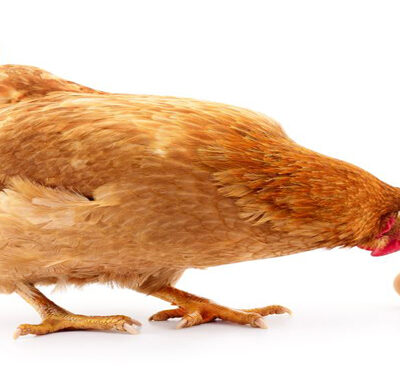 تخم مرغ بسته بندی ۹ عددی چیلای ارگانیک (قهوه ای)