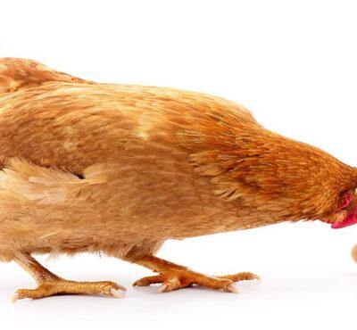 تخم مرغ بسته بندی ۱۵ عددی چیلای ارگانیک (قهوه ای)
