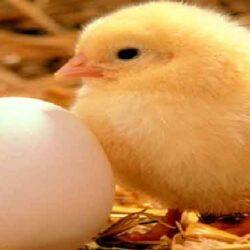 رئیس هیئت مدیره اتحادیه مرغ تخم گذار استان تهران گفت: با توجه به گران بودن زیرساختهای تولید، آینده روشنی پیش روی تولید تخم مرغ وجود ندارد.