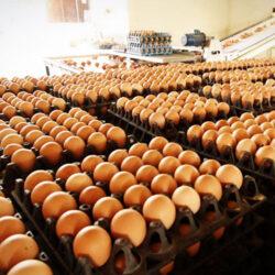 """تخم مرغ """"مدیریت شده تر"""" صادر می شود/ قطر هدف صادراتی خوبی است."""