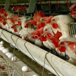 رییس اتحادیه مرغ تخمگذار خراسان رضوی بیان کرد: در ابتدای سال ۱۴۰۰ بازهم هشدار دادیم و گفتم باتوجه به اینکه کاهش قیمت تخم مرغ را داریم، چرا دولت چابکی لازم در بحث قیمت گذاری تخم مرغ و بحث صادرات را ندارد.