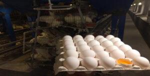 تخم مرغ زرده طلایی  شکراللهی