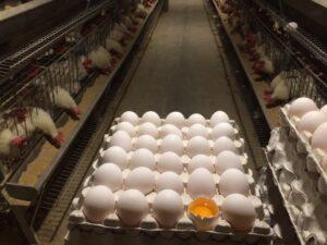 تخم مرغ زرده طلا شکراللهی (کارتنی)
