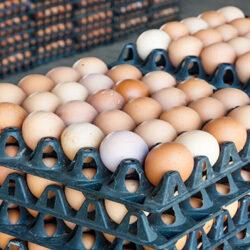 آیا تخممرغ باز هم گران میشود؟