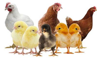 کنترل بازار صنعت مرغ و تخم مرغ نیازمند واردات نهاده است.