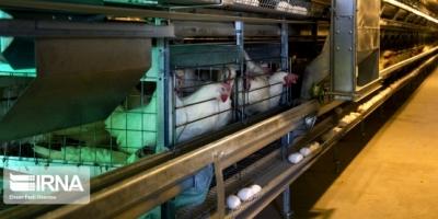 همدان از قطبهای تولید تخممرغ نطفهدار در کشور است.