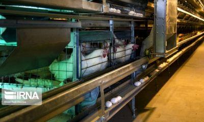 مشکل برق بزرگترین واحد تولید تخم مرغ کشور رفع شد