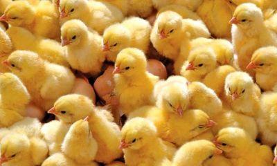 کرونا موجب کمبود مرغ، تخم مرغ و جوجه در افغانستان شد.