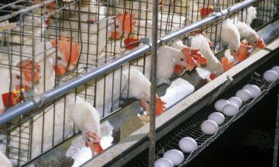 تولید ماهانه ۹۰ هزار تن تخممرغ در کشور