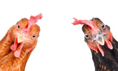 اتخاذ تصمیمات مهم در ستاد تنظیم بازار برای حمایت از صنعت مرغداری