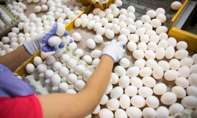 افت حداقل ۲۵ درصدی تولید تخم مرغ