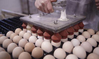 صادرات روزانه تخم مرغ به ۱۵۰ تن رسید