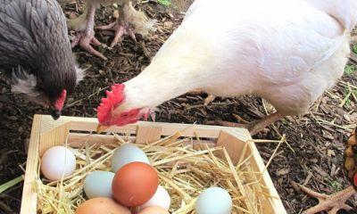تحلیلی گذرا بر صنعت طیور تخمگذار در سالی که گذشت