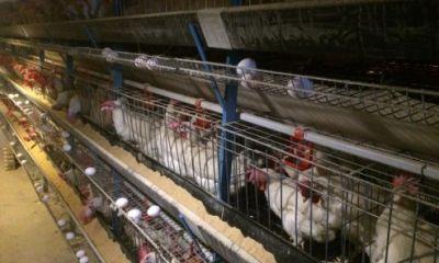میزان تولید تخم مرغ در واحد سطح البرز ٣٠برابر میانگین کشورى