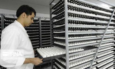 البرز یک هزار و ۵۸۸ تن تخممرغ به عراق صادر کرد