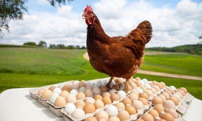 مرغداران قمی پیشتاز تولید و صادرات تخممرغ