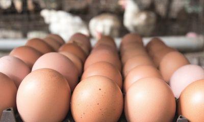 وضع قوانین جدید برای طیور تخم گذار انگلیس