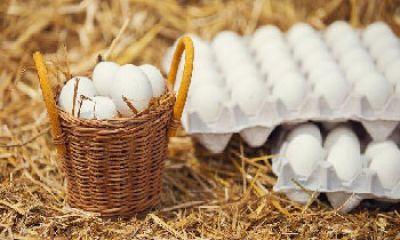 ۶۵۰ تن تخم مرغ در مرغداریهای شهرستان البرز تولید شد