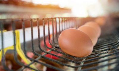 خبری از گرانی و کمبود تخم مرغ و مرغ نیست