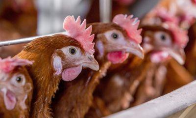 هشدار نسبت به کشتار مرغ های تخم گذار